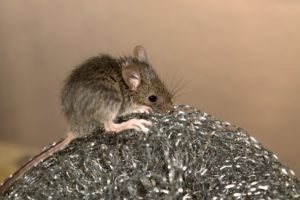 getting rid of mice, how to remove mice from the home